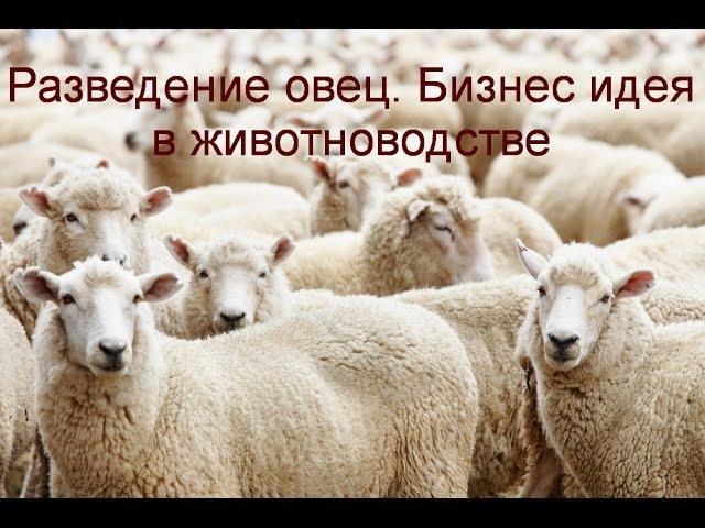Разведение овец. Бизнес идея в животноводстве