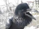 Man has conversation with a cheeky wild raven