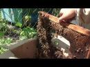 Споймал рой в Картонную Коробку Простое Пчеловодство 32