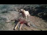 KANGAL vs WOLF