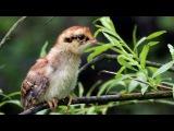 Chicks of hazel grouse/ Птенцы рябчика / Tetrastes bonasia