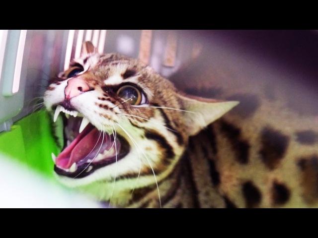 НОВЫЙ ЗЛОБНЫЙ ДИКИЙ КОТ. Отдали бенгальского кота F1 ANGRY WILD CAT. We were given a Bengal cat F1