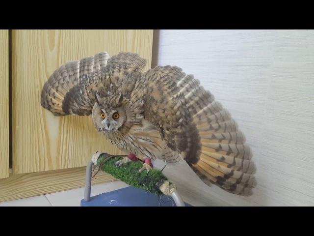 Боевой веер Ушастой совы Кёрби