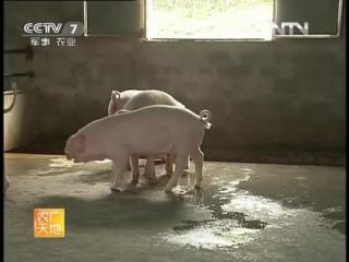 Свинья новой породы №150 ''150 Синьсин Ян Чжу Моши'' - модель для малых и средних свиноводческих хозяйств ''Вэй Чжун Сяосин Янчж