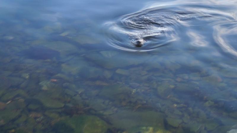 21.05.2017. Морские котики, мы их видели урааа!)) Они подплывают к людям на столько близко-чувства зашкаливают