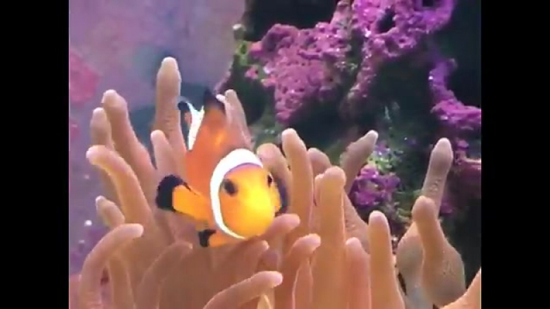 Рыба-клоун. Онимоны. Аквариум.