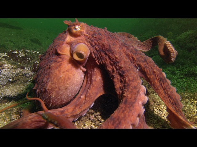 Octopus Steals Crab From Fisherman - Super Smart Animals - BBC Earth