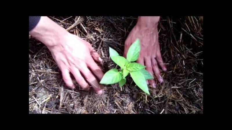 Высаживаем рассаду перца как это сделать правильно Выращивание перца