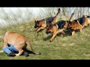 Best Trained Disciplined German Shepherd Dogs