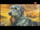 Ирландский волкодав. Породы собак