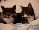 Пара котиков мило разговаривают....