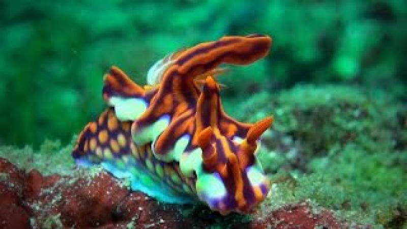 Голожаберные (Nudibranchia) - брюхоногие моллюски