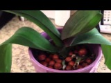 2013-07-07 - How I water my orchids in glass vase  hydroton medium