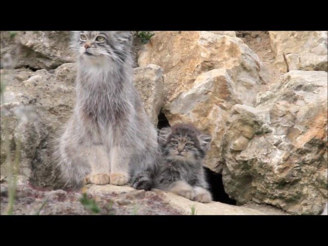 Pallas cat and kitten