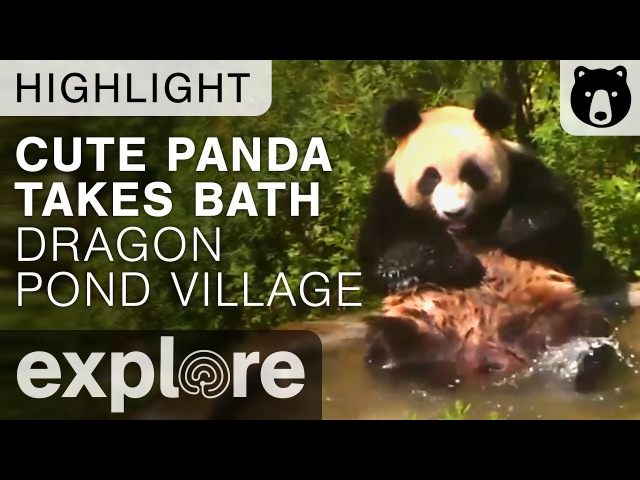 Funny Panda Plays in Pond (cute panda videos)
