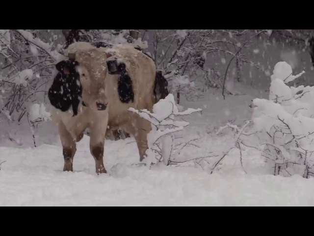 Vacas y toros jugando en la nieve