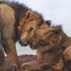 Tea Lions • Чайные Львы