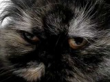 Персидская кошка Софья -  Очень Страшный зверь !!!  )))