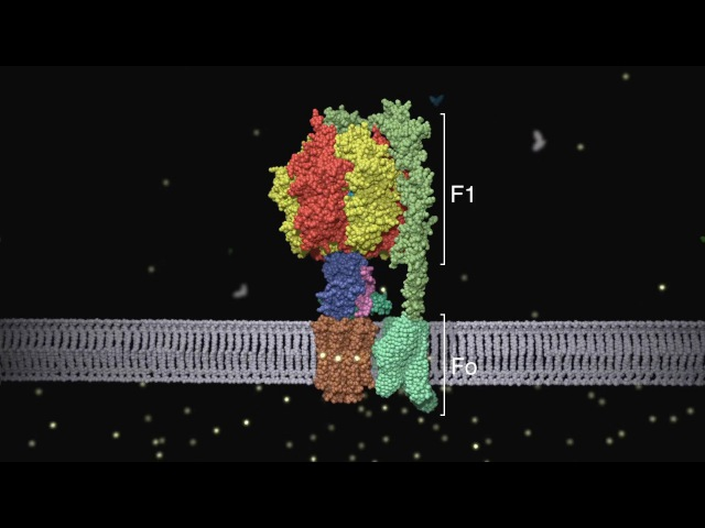 ATP synthase: Structure and Function
