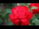 Самые лучшие розы для Средней полосы Часть 2