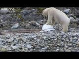 Polar bears smash the spy cams - Polar Bear Spy On The Ice - BBC One