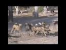 BBC Жить на воле Восточная Африка Земля огня и крови Документальный природа животные 2008