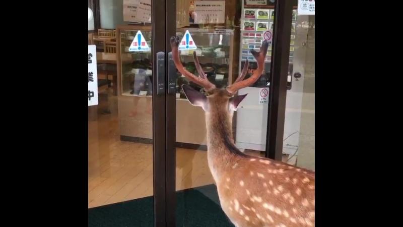 Vid.(deer)
