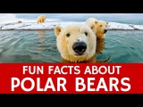 Interesting Facts about Polar Bears  Educational Video for Kids and School Learning