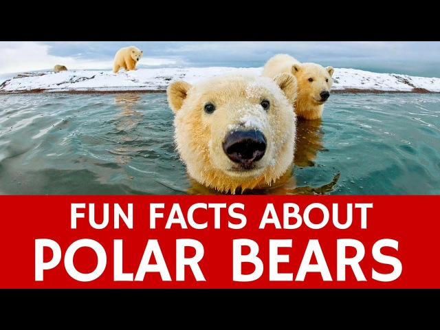 Interesting Facts about Polar Bears – Educational Video for Kids and School Learning