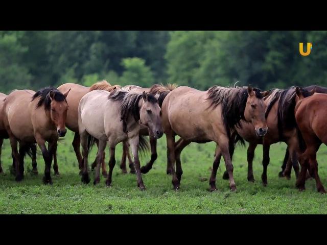 Глазами животных 287 (Уфимский конный завод №119 и производство кумыса)