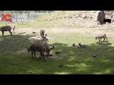 Зоолог пояснила, почему новорожденные бараны в ростовском зоопарке синие