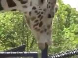 Жираф учится сосать