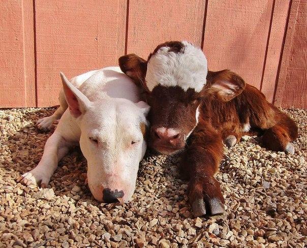Спасенная миниатюрная корова, которая считает себя собакой