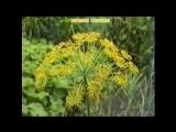 Укроп пахучий огородный. Полезные свойства и применение, рецепты народной медицины