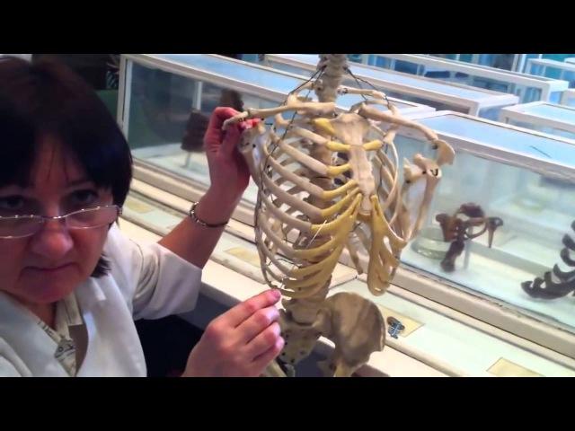 Грудино ключичный сустав Articulatio sternoclavicularis