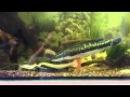 Оринокский сом и змееголов