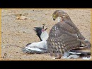 Hawk Tries to Kill Cuckoo Bird
