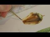 The Art of Botanical Illustration A Norfolk Island Pine by Angela Lober