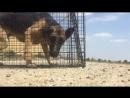 Питбуль героически спасает умирающую собаку от голода