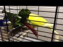 Попугаи кушают листья свеклы