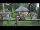 Lemurs loop