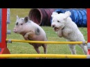Best Trained Disciplined Pigs