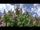 Stock-footage-big-bush-of-the-blossoming-lilac-in-the-spring