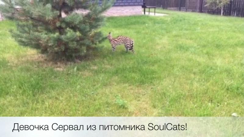 Самая нежная и счастливая девочка Сервала на прогулке! Питомник SoulCats 🐾