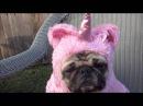 Прикольный пес единорог! Смешные видео про животных 1
