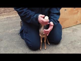 Сотрудники Честерского зоопарка растят осиротевшего детеныша антилопы