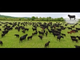 Labinsk Beef, мраморная говядина. Презентационный ролик, июнь 2017.