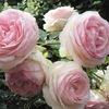 Розы в саду (САДЫ КАРЕЛИИ)