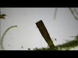 Floscularia ringens (rotifer) / Коловратка флоскулария