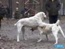 Собачьи бои но не бойтесь тут про любовь !